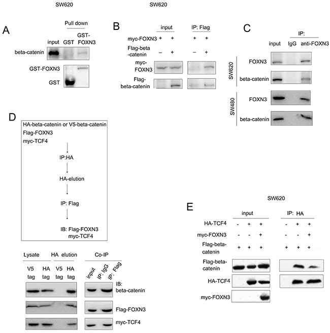 FOXN3 bind with beta-catenin and blocked the interaction between beta-catenin and TCF in colon cancer cells.