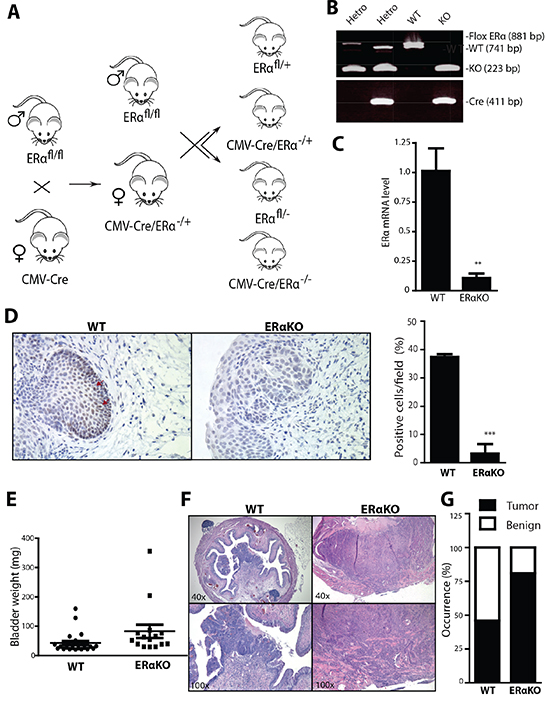 Total ERα knockout increased the cancer incidences in BBN-induced BCa model.