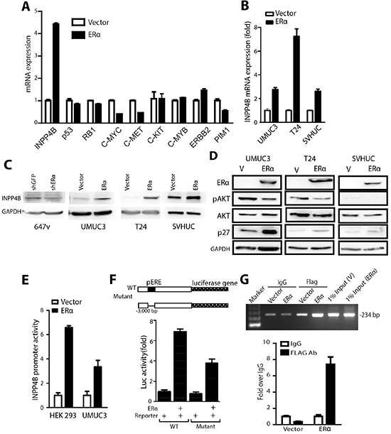 INPP4B expression is up-regulated by ERα in BCa cells.