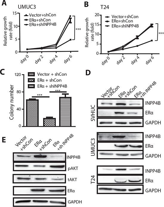 Knocking down INPP4B in BCa cells results in reversal of ERα inhibited BCa cell growth and ERα inhibited malignant transformation of SVHUC cells.