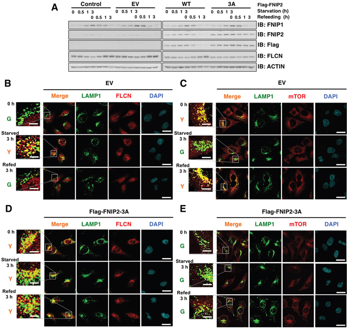 Ectopic expression of non-degradable FNIP2 enhances FLCN lysosomal localization and diffusion of mTOR in HeLa cells.