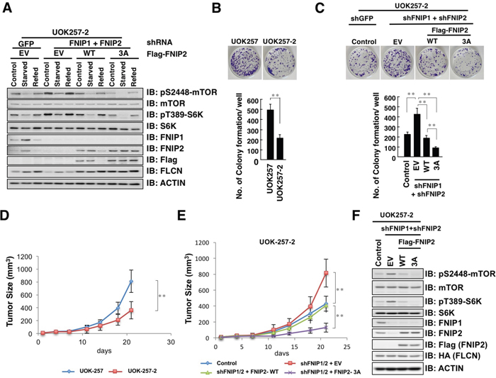 Non-degradable FNIP2 mutant significantly suppresses the proliferative and tumorigenic capacity of UOK-257-2 cells.