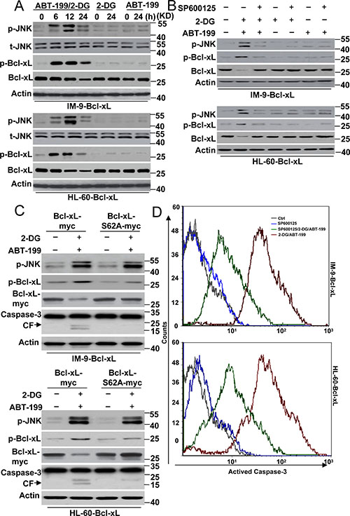JNK mediated Bcl-xL degradation contributes to cell death by 2-DG with ABT-199 treatment.