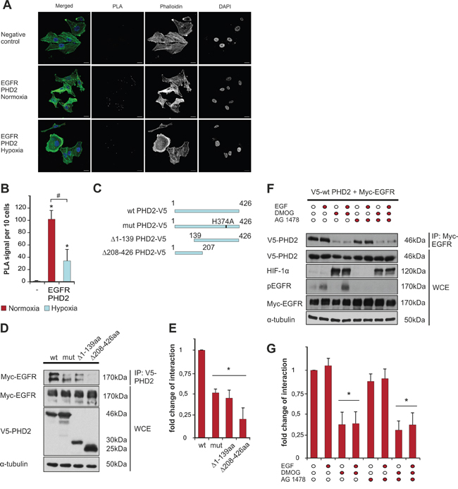 PHD2 interacts with EGFR.