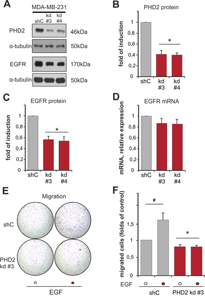 Knockdown of PHD2 in MDA-MB-231 cells affects EGFR levels and EGF-driven motility.