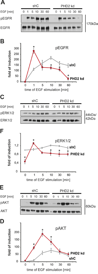 PHD2 knockdown leads to a less sustained activation of EGFR and its downstream signaling pathways.