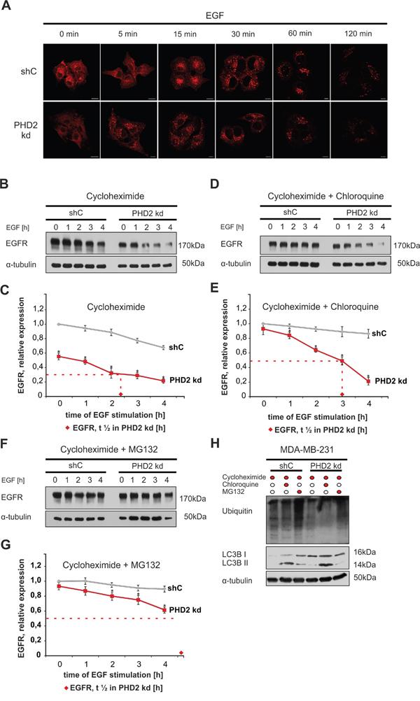 PHD2 knockdown fosters EGFR degradation.
