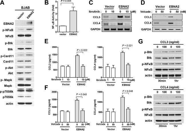 Association of CCL3/CCL4 expression with activation of Btk/NF-κB.