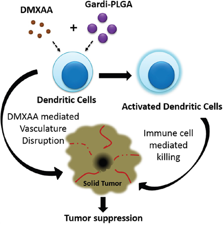 Scheme 1: Illustration depicting speculated mode of actions of combination of Gardi-PLGA and DMXAA.
