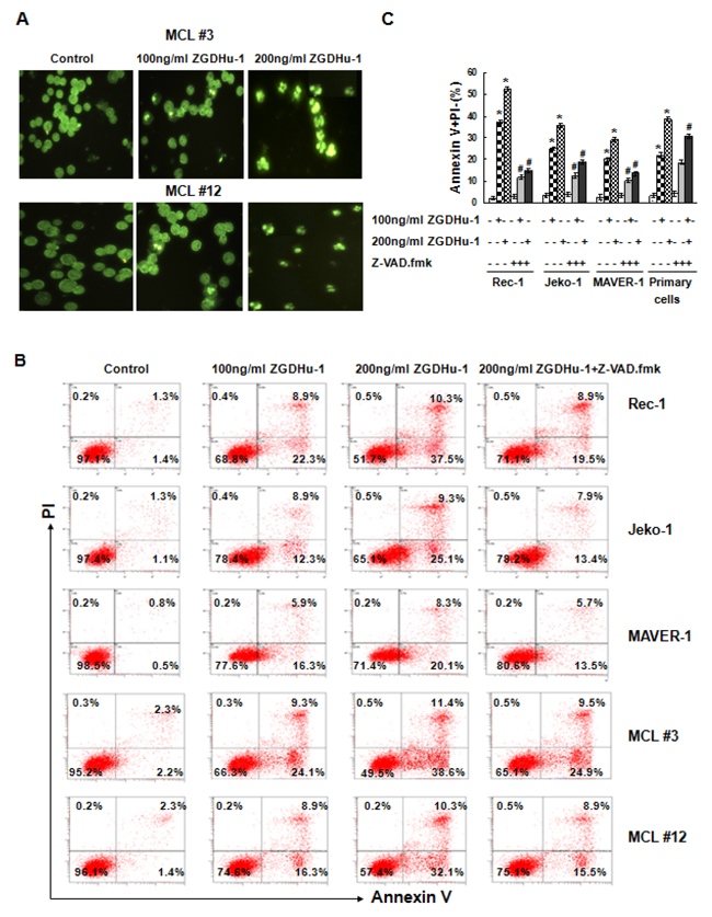 ZGDHu-1 induces apoptosis in MCL cells.