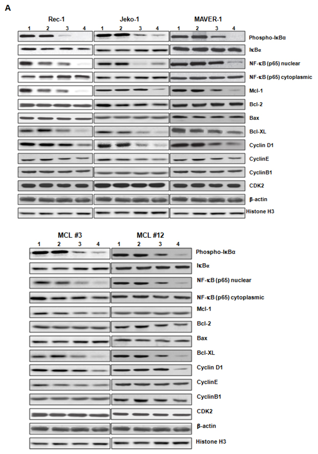 ZGDHu-1 decreases the protein levels of multiple cell cycle and apoptosis regulators in MCL cells.