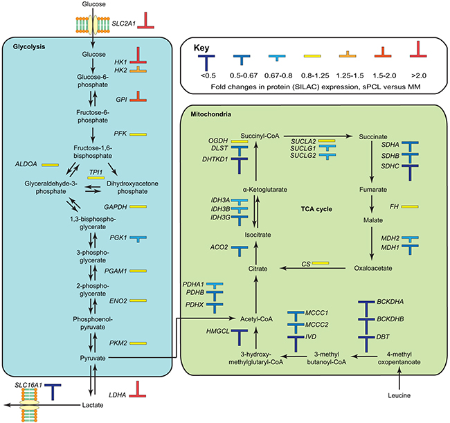 Overview of differentially expressed proteins in the glycolytic and oxidative metabolic pathways.