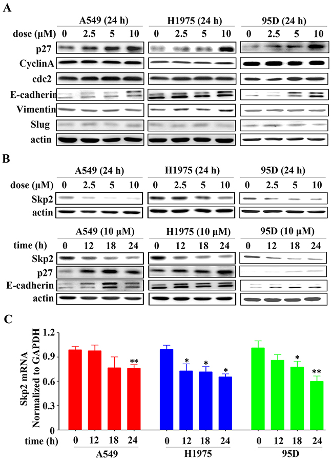 YF-18 treatment leads to Skp2 down-regulation and its targets p27 and E-cadherin up-regulation.