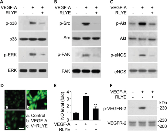 RLYE inhibits VEGF-A-induced angiogenic signal cascades.