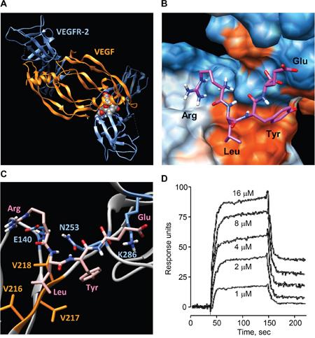 Binding of RLYE to VEGFR-2.