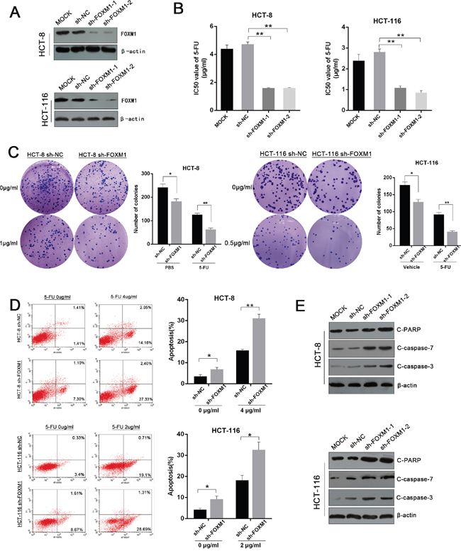 Silencing of FOXM1 restores the sensitivity of CRC to 5-FU.