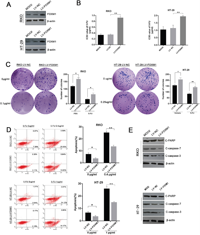 Overexpression of FOXM1 confers 5-FU resistance to CRC cells.