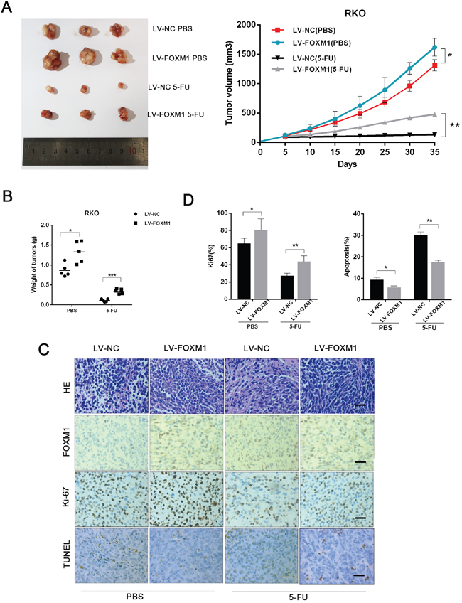 FOXM1 enhances CRC resistance to 5-FU in vivo.