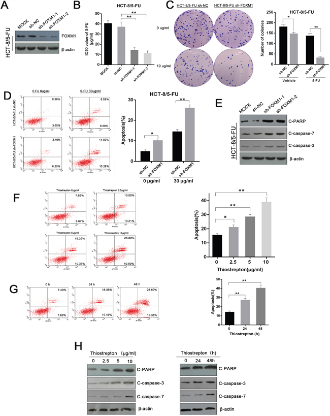 Genetic and pharmacological inhibition of FOXM1 restores the sensitivity of resistant CRC cells to 5-FU.