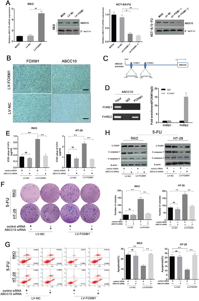 FOXM1 promotes 5-FU resistance by directly enhancing ABCC10 transcription.