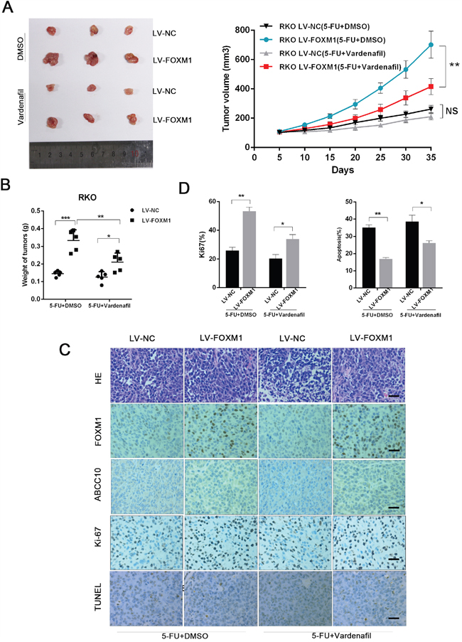 Targeting ABCC10 reverses FOXM1-elicited 5-FU resistance in vivo.