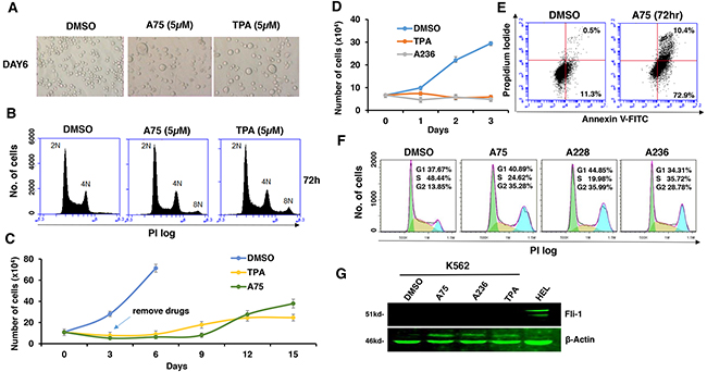 Fli-1 transactivating compounds block proliferation, and induce polyploidy as well as attachment of Fli-1- expressing erythroleukemic cells in culture.