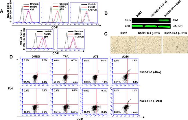 Induction of Fli-1 expression promotes megakaryocytic differentiation.