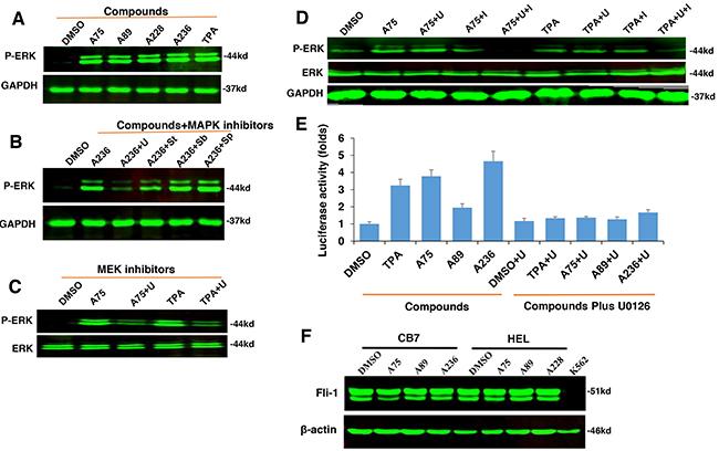 The compounds induces Fli-1 transcriptional activity through MAPK/ERK.