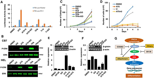 The Fli-1 transactivating compounds induce growth arrest and differentiation of erythroleukemic cells through PKC and, in part, through MAPK/ERK activation.