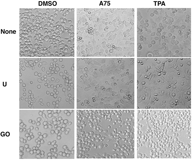PKCA compounds induce cell attachment independently of MAPK/ERK activation.