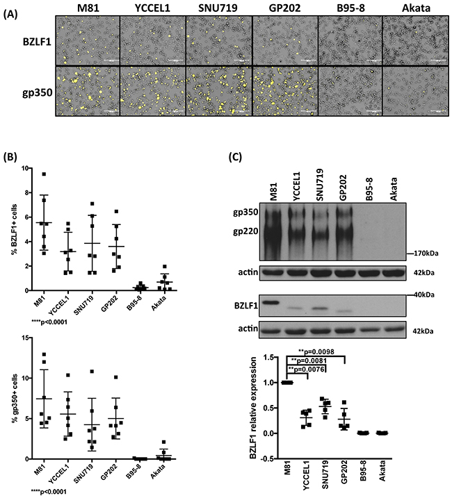 Lytic replication in LCLs infected with multiple EBV strains.