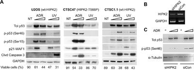 Endogenous HIPK2 (WT vs. T566P) response to ADR and UV.
