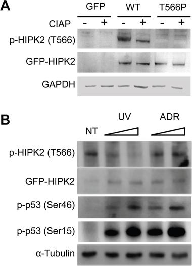 HIPK2-T566 phosphorylation analysis.