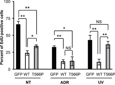 Comparison of the effects induced by UV and ADR treatments on wt HIPK2 and HIPK2-T566P overexpressing cells.