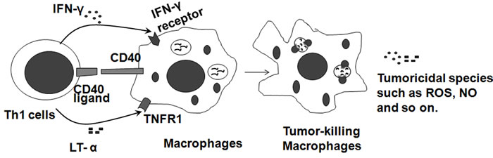 Tumoricidal macrophages are induced by Th1 cells.
