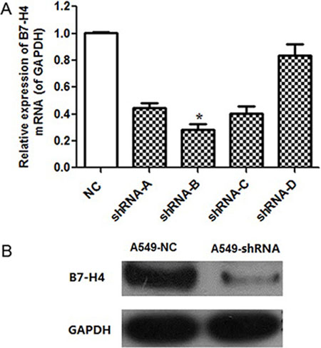 B7-H4 knockdown effect in mRNA and protein level.