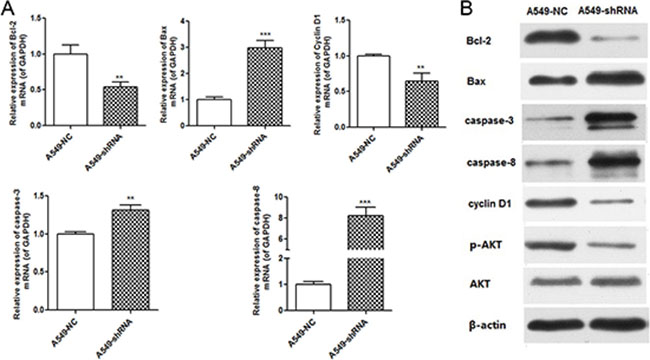 B7-H4 RNAi influenced expression of molecules associated with cell cycle and apoptosis.