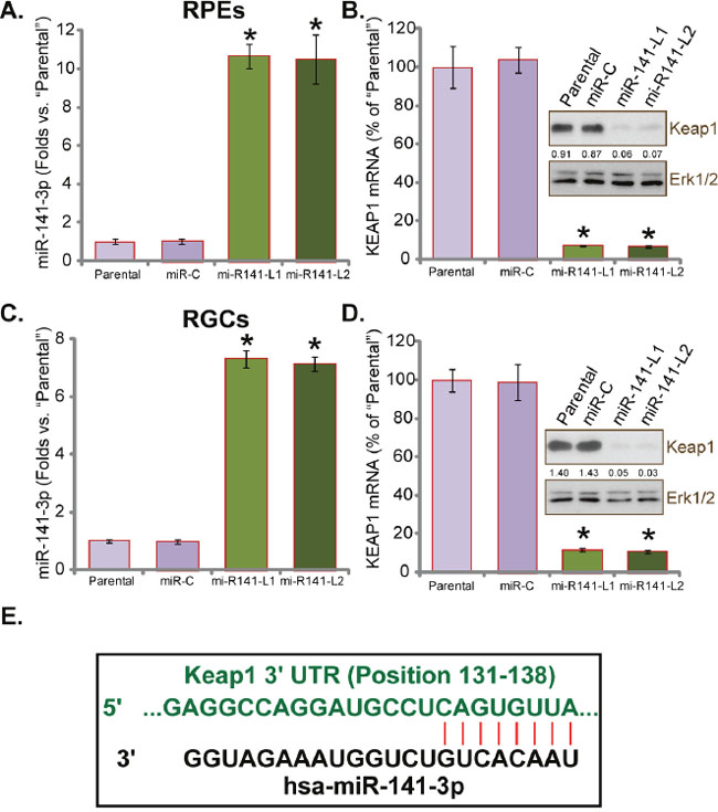 miR-141 expression downregulates Keap1 in human RPEs and RGCs.