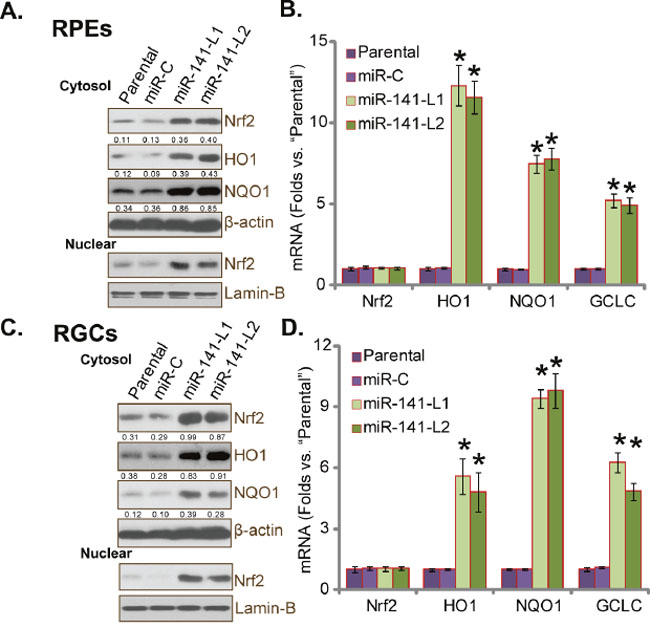 miR-141 expression stabilizes and activates Nrf2 in human RPEs and RGCs.