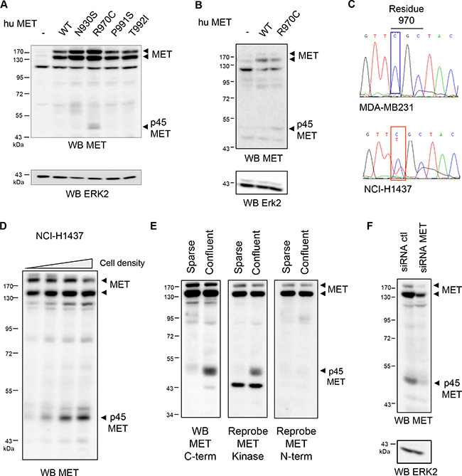 The R970C mutation promotes generation of a p45 MET fragment.