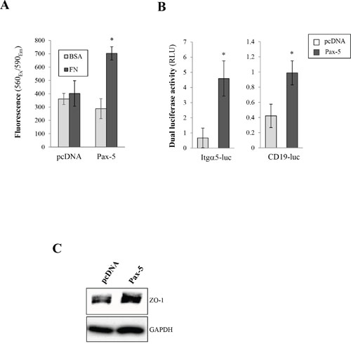 Pax-5 increases breast cancer cell adherent properties.
