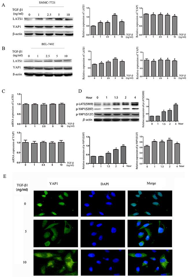 TGF-β1 activates the Hippo signaling pathway in HCC cells.