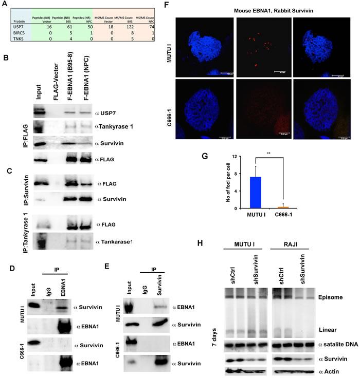 Oncotarget | Carcinoma-risk variant of EBNA1 deregulates