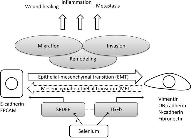 Simplified hypothetical model for the suggested effects of selenium on epithelial-to-mesenchymal transition in prostate tissue.