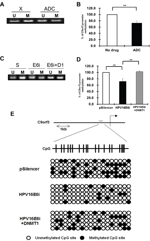 The methylation status of the C9orf3 promoter region in SiHa cells.