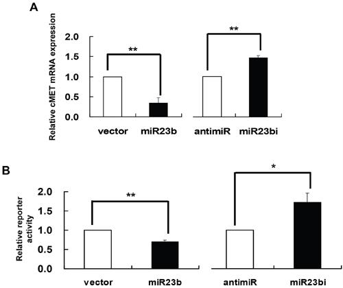 c-MET as a gene target of miR-23b.