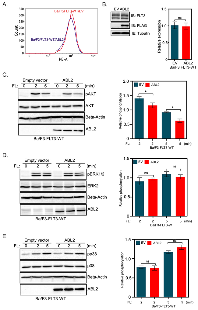 Ba/F3-FLT3 cells expressing ABL2 display reduced AKT phosphorylation: