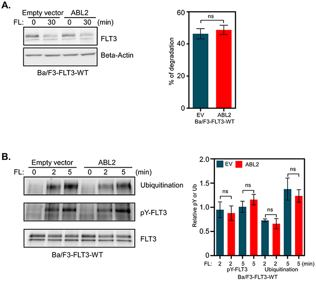 ABL2 expression does not alter FLT3 activation, ubiquitination or degradation: