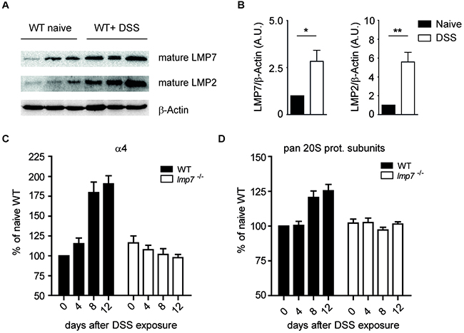 Abundance of proteasomal subunits after treatment of WT mice with DSS.