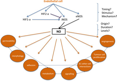 Filling the gaps in endothelial HIF-alpha, NO signalling and subsequent changes that can contribute to metastatic events.